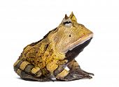 stock photo of orange frog  - Side view of an Argentine Horned Frog - JPG