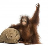 Young Bornean orangutan with its burlap stuffed toy, reaching up, Pongo pygmaeus, 18 months old, iso