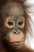 Close-up of a young Bornean orangutan, looking at the camera, Pongo pygmaeus, 18 months old, isolate