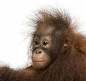 Close-up of a young Bornean orangutan, looking away, Pongo pygmaeus, 18 months old, isolated on whit