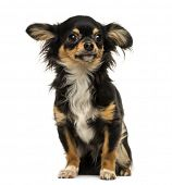 Chihuahua sitting, looking away, isolated on white