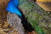 Male Peacock Preening
