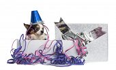 Chihuahua wearing a party hat in a present box with streamers, isolated on white