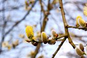Yellow Flowers Of A Catkin