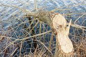 tree felled by beavers