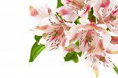 Alstroemeria Pink Flower Isolated On White