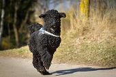 stock photo of standard poodle  - A black standard poodle running on a road with a laid - JPG