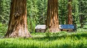 stock photo of sequoia-trees  - Giant Sequoia trees with cabin in Yosemite national park - JPG