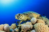 picture of hawksbill turtle  - Hawksbill Sea Turtle rests on underwater coral - JPG