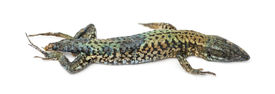 picture of decomposition  - Dead Common wall lizard in state of decomposition - JPG