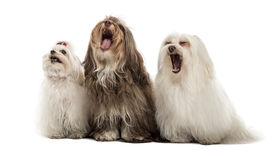 picture of maltese  - Group of Maltese dogs - JPG