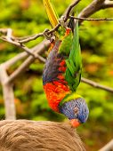 Colorful Parrot Eating Hair