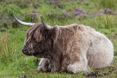 Highland cattle or Scottish cattle photographed on Isle of Skye