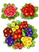 Primula Flowers Isolated On White