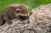 Baby Raccoon (procyon Lotor) Climbs Up Log