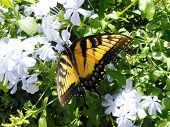 stock photo of butterfly-bush  - tiger swallowtail butterfly nectaring on a white ginger bush - JPG