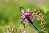 A Young Male Beautiful Sunbird (nectarinia Pulchella) Perched With Pink Flowers