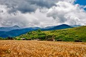 Wheat Heads On A Field With Mountains On A Background In Rural Ared
