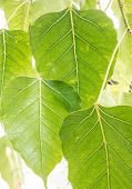Leaves Of Bodhi Tree