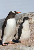 Chick And Adult Bird Gentoo Penguin Near The Nest