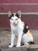 three color thai cat, colorful little cat