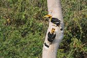 foto of bill-of-rights  - A couple of Great hornbills searching the right tree for their nest - JPG