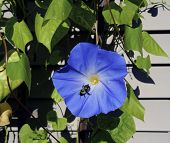 stock photo of bumble bee  - A bumble bee investigates a Summer morning glory in the garden - JPG