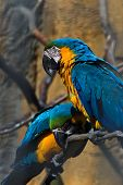 Yellow And Blue Parrots