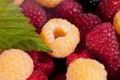 background of group of red and white raspberries macro
