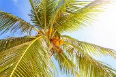 Coconut Palm With Fruits Against Sun Background.