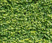 foto of tendril  - Green wall of parthenocissus tendril climbing decorative plant - JPG