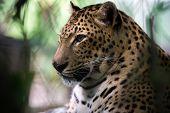 jaguar, head and neck close-up