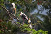 Painted storks resting on tree top branches