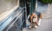 foto of basset hound  - Basset hound with her owner walked by the street - JPG