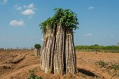 image of cassava  - The cassava farm at the countryside of Thailand