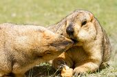 picture of groundhog day  - Couple of funny marmots with bisquit on the green grass  - JPG