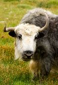 Yak On The Meadow In Hymalayas