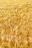 Pattern Of Golden Field
