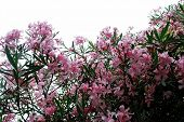 Pink Blossom Flowers Of Big Bush. Rome