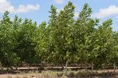 image of walnut-tree  - a closeup of healthy walnut trees in a plantation paddock - JPG