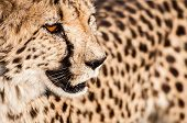 foto of veld  - A cheetah in the veld in Namibia wondering around in brought day light looking for something to eat.