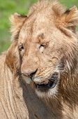 stock photo of sub-saharan  - Portrait of a male lion with eyes closed. ** Note: Shallow depth of field - JPG