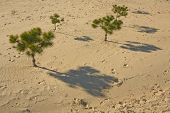 Pine Trees On The Sand