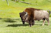 Bison  In Yellowstone National Park Usa