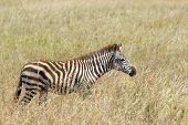 Common Zebra In The Savannah