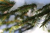 Christmas evergreen spruce tree with snow