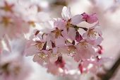 spring sakura blossom close up