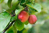 Apples branch.