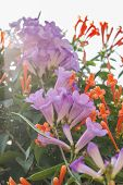 Beautiful Garlic Vine Flower