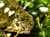 Southern Dwarf Chameleon